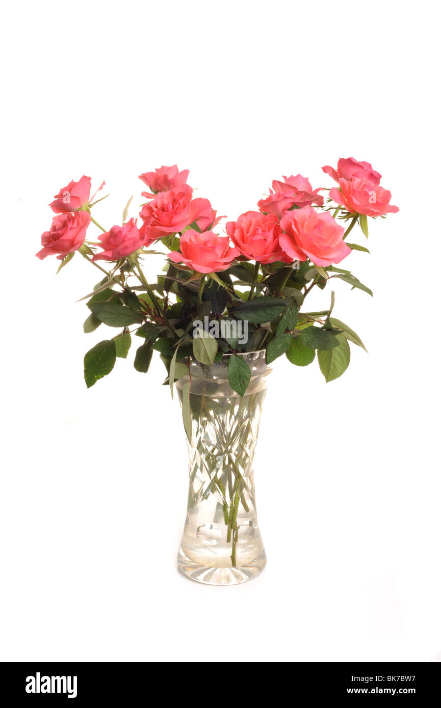 Roses Photographed in a vase in studio against a white background - Stock Image