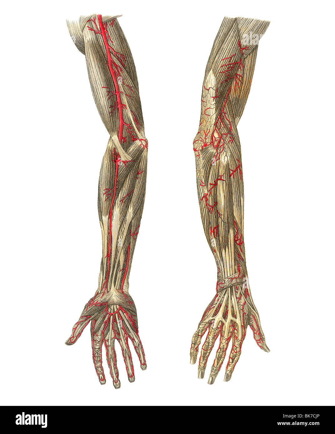 Blood vessels of the arms, artwork Stock Photo: 29052430 - Alamy
