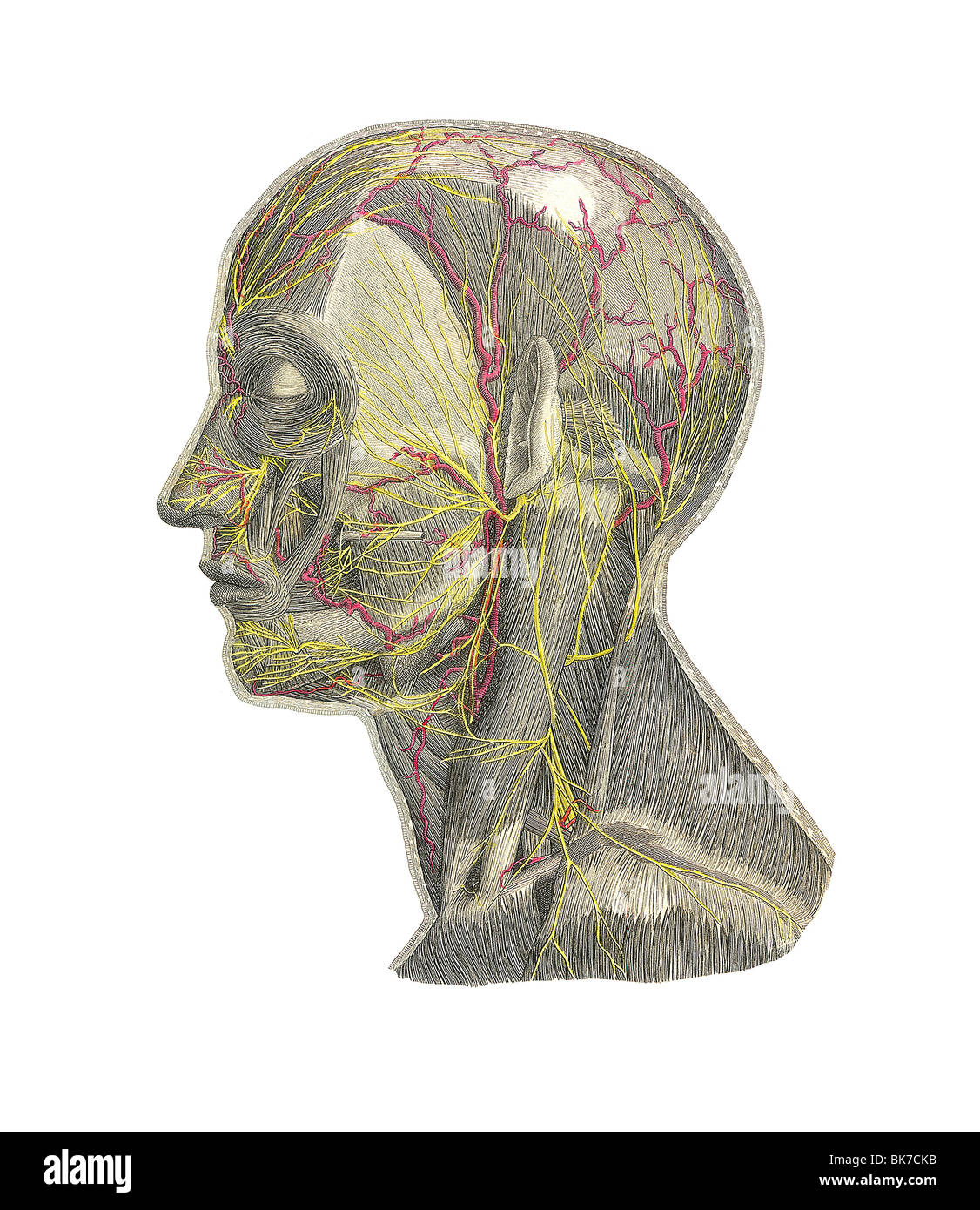 Blood Vessels Of The Head Artwork Stock Photo 29052447 Alamy
