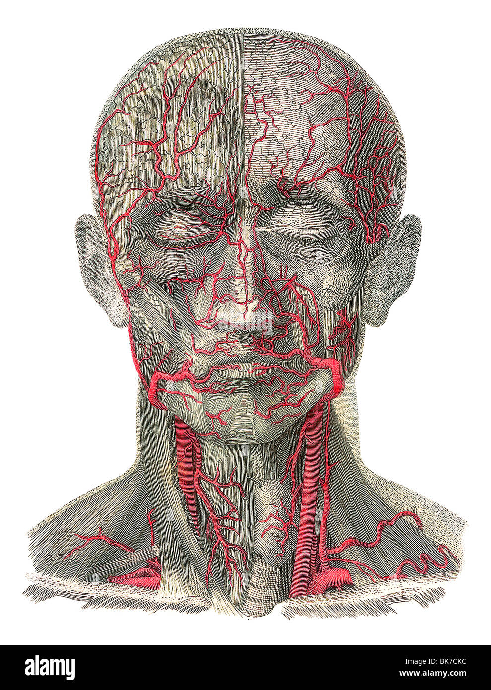 Blood Vessels Of The Head Artwork Stock Photo 29052448 Alamy