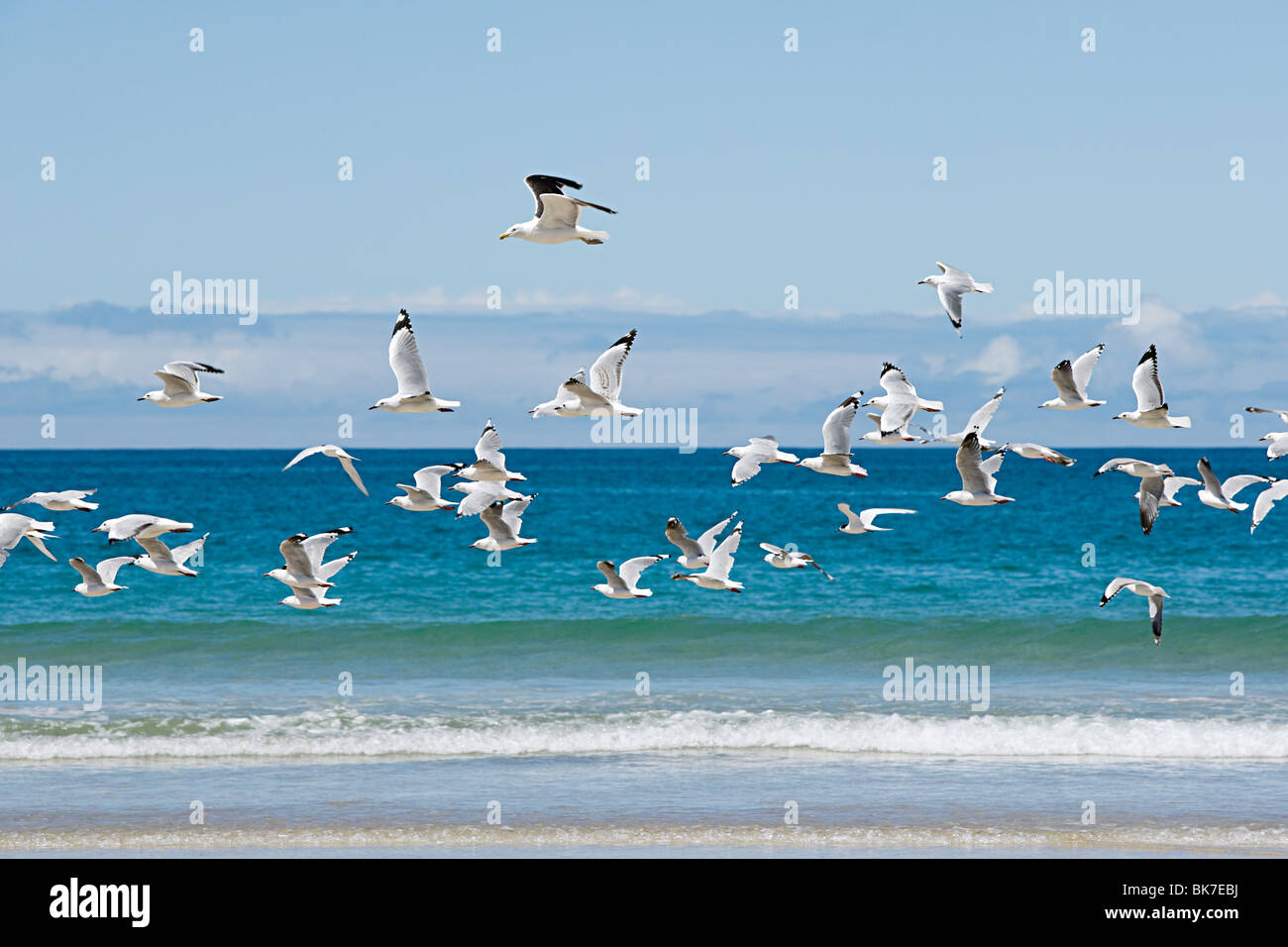 Bay of Islands, seagulls flying over sea - Stock Image