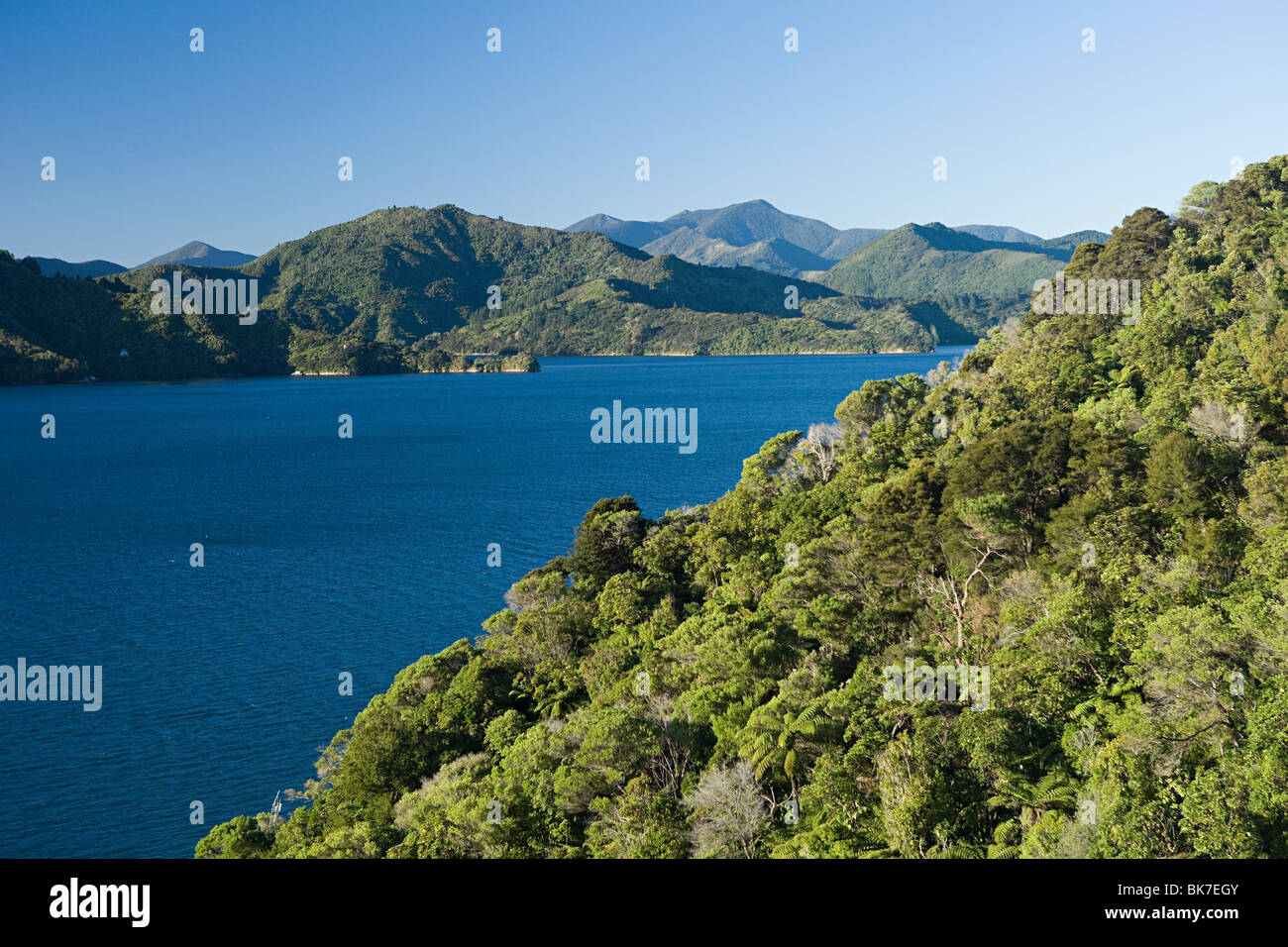 Queen Charlotte Sound, native bush - Stock Image