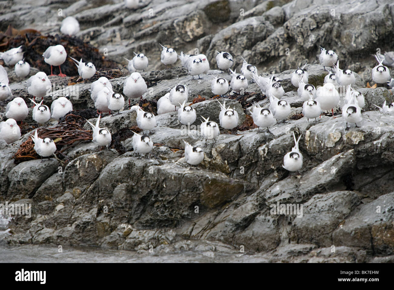 Kaikoura, terns sitting on rock in rain - Stock Image