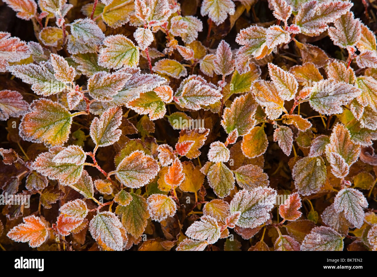 Frost on leaves of plant - Stock Image