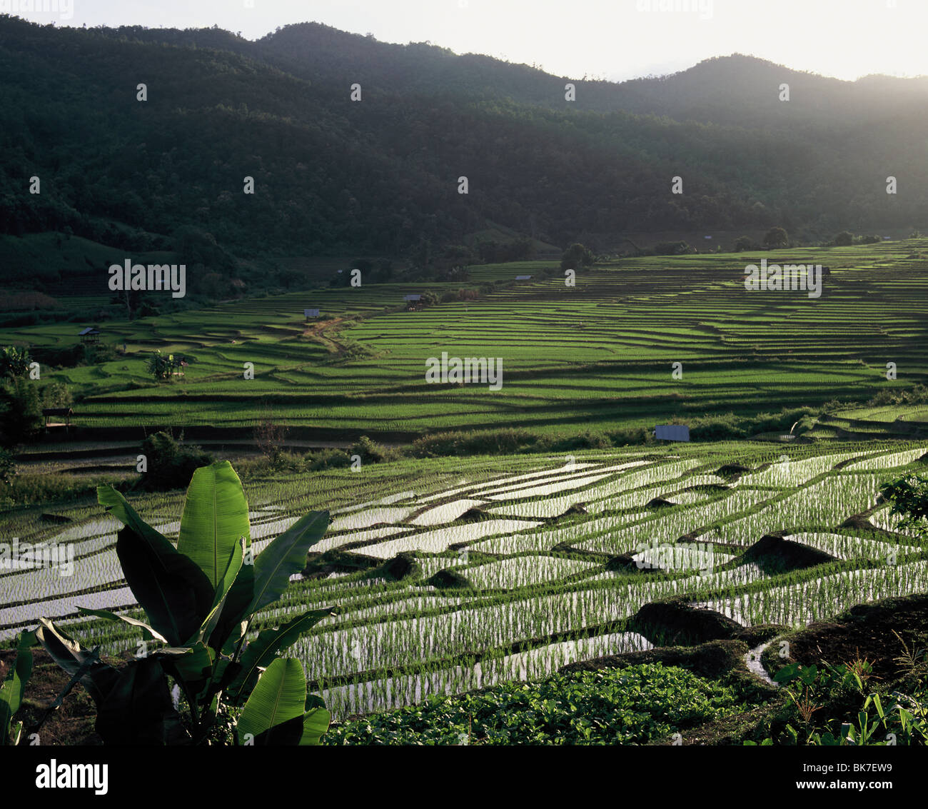 Terraced ricefields, Doi Inthanon, Chiang Mai, Thailand, Southeast Asia, Asia - Stock Image
