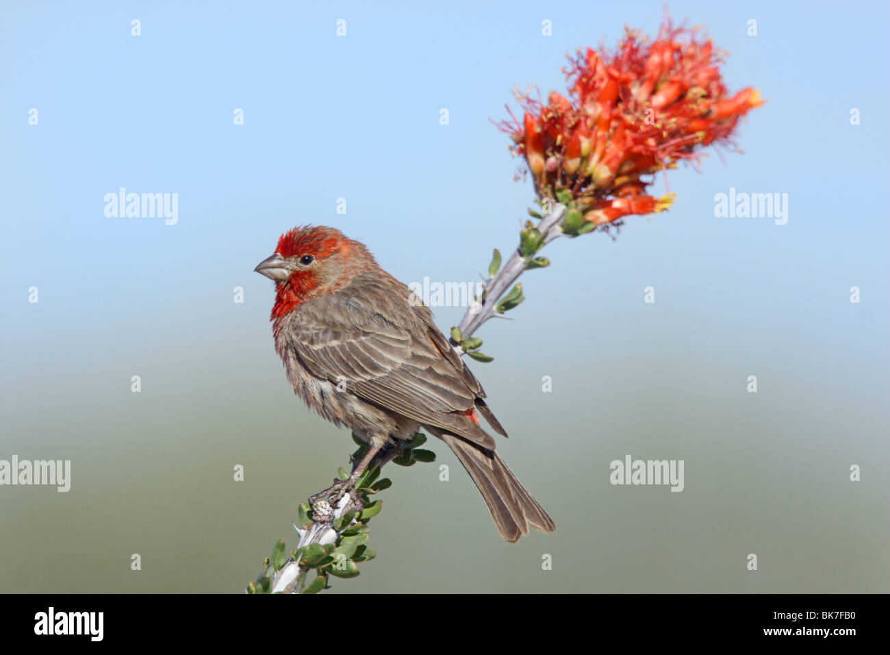 House Finch Male on Ocotillo flowers. - Stock Image