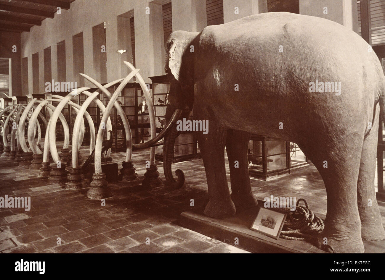Stuffed elephant and ivory tusks dating from around 1890, in Bangkok Museum, Bangkok, Thailand, Southeast Asia, - Stock Image