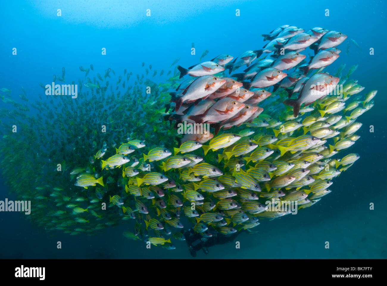 School of french grunts and snappers, South Africa Stock Photo