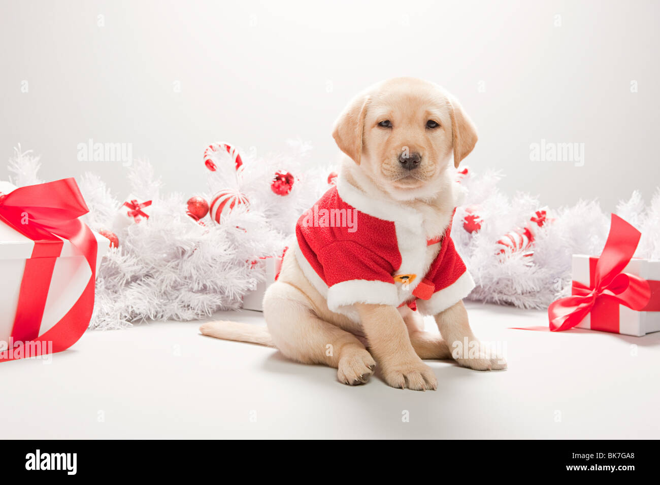 Labrador Christmas High Resolution Stock Photography And Images Alamy