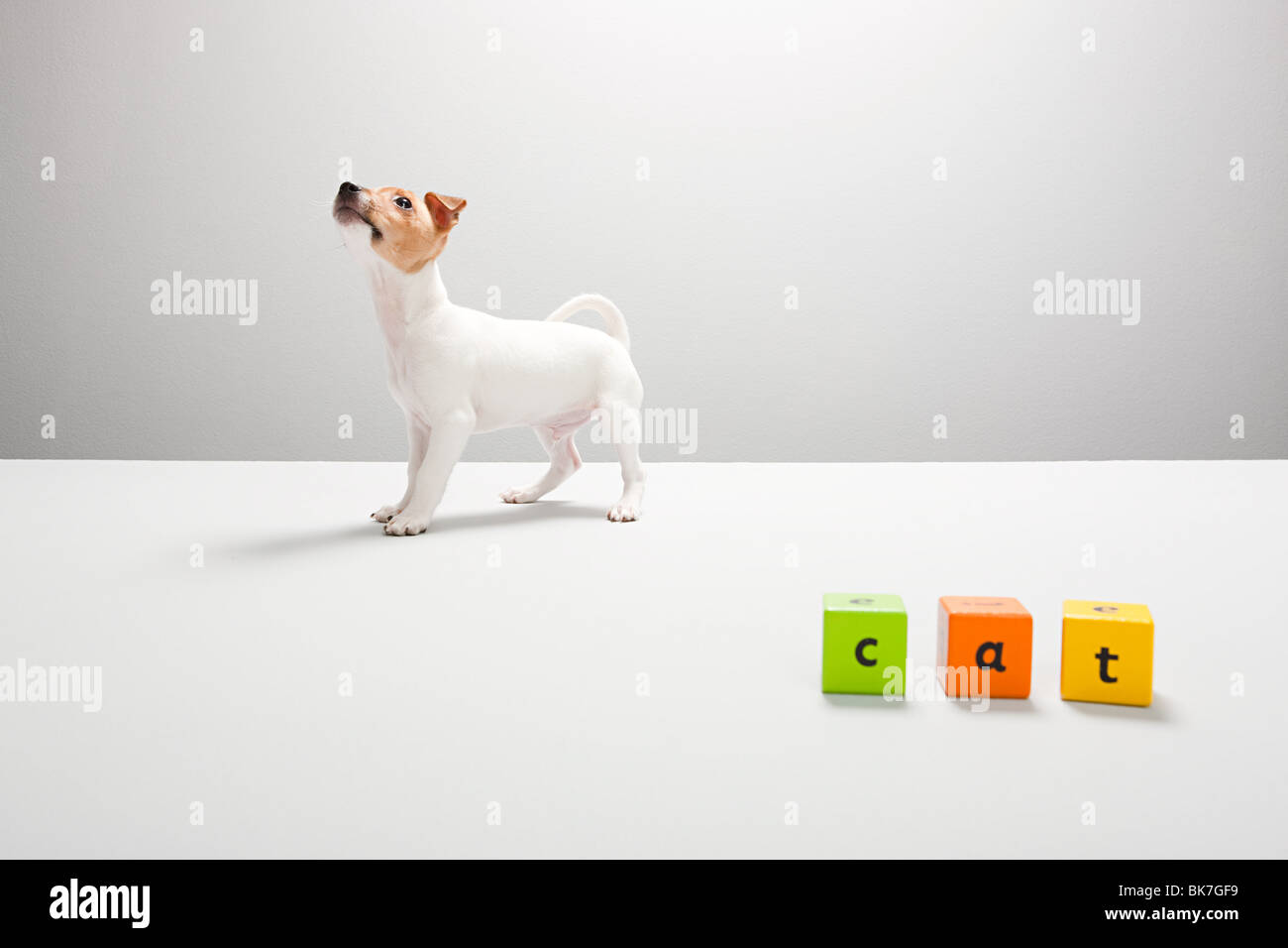 Jack russell puppy and building blocks spelling cat - Stock Image