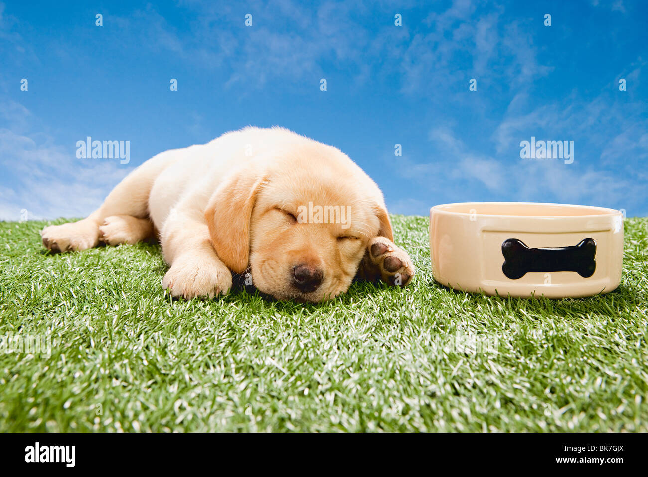 Labrador puppy sleeping by dog bowl - Stock Image