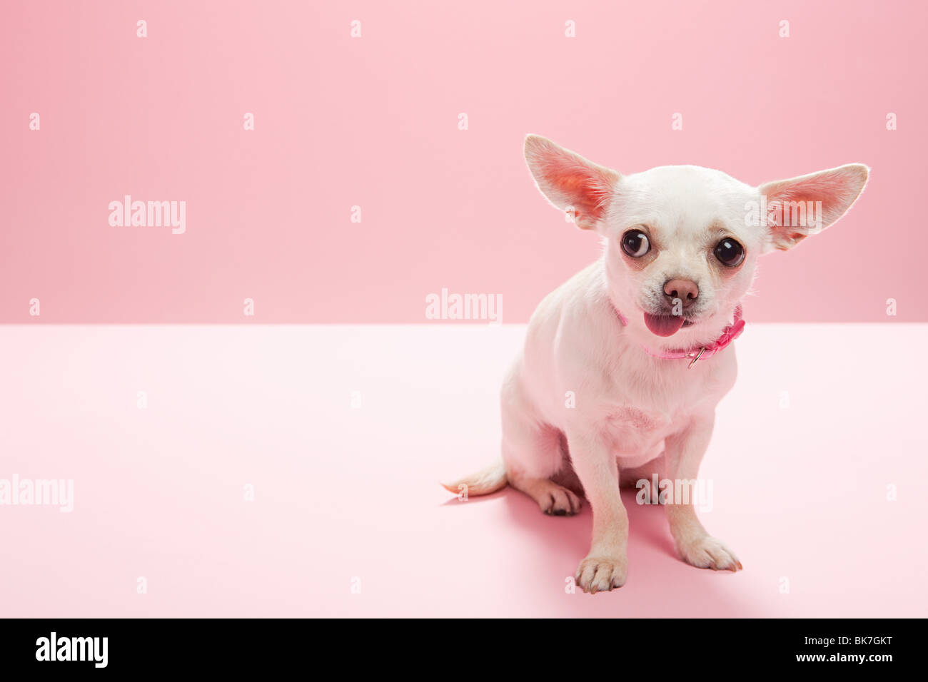 Portrait of a chihuahua making a face - Stock Image