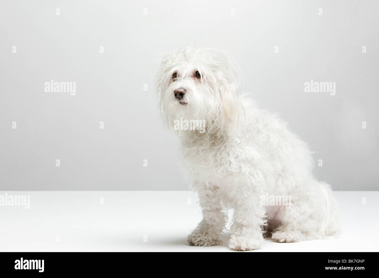 Portrait of a white dog - Stock Image