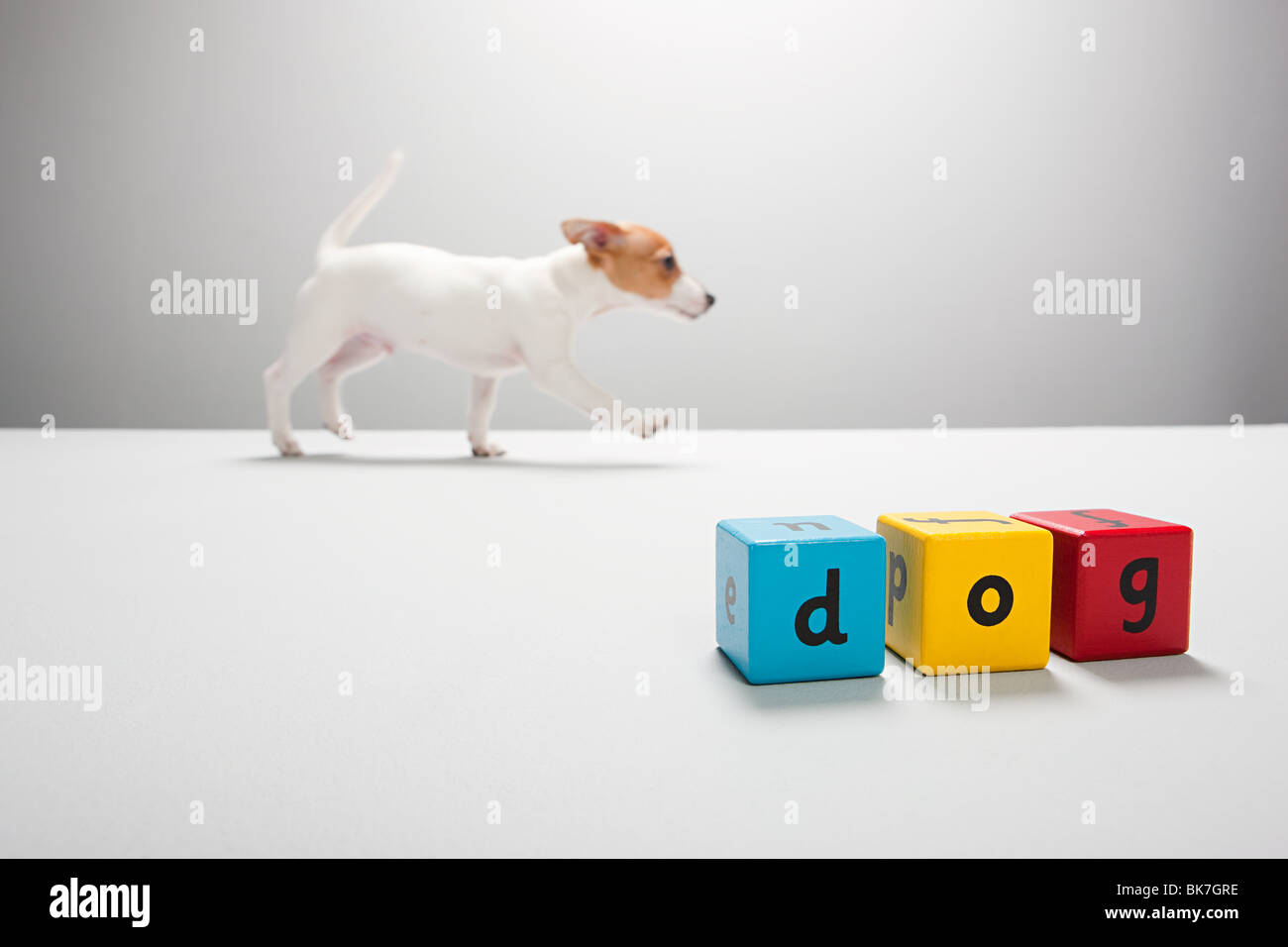 Jack russell puppy and building blocks spelling dog - Stock Image