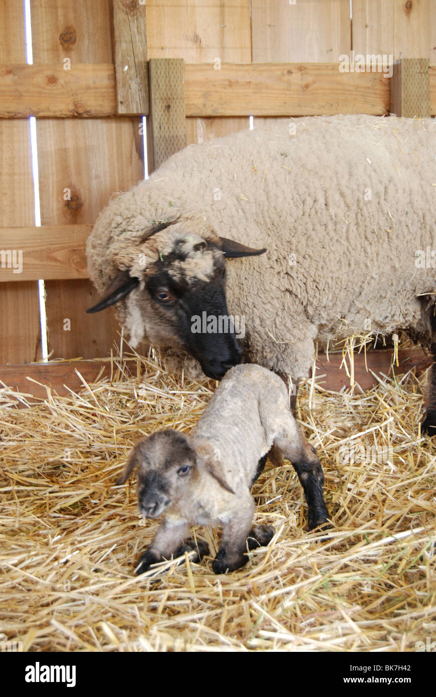 mother sheep (ewe) helping newborn lamb to its feet for first time - Stock Image