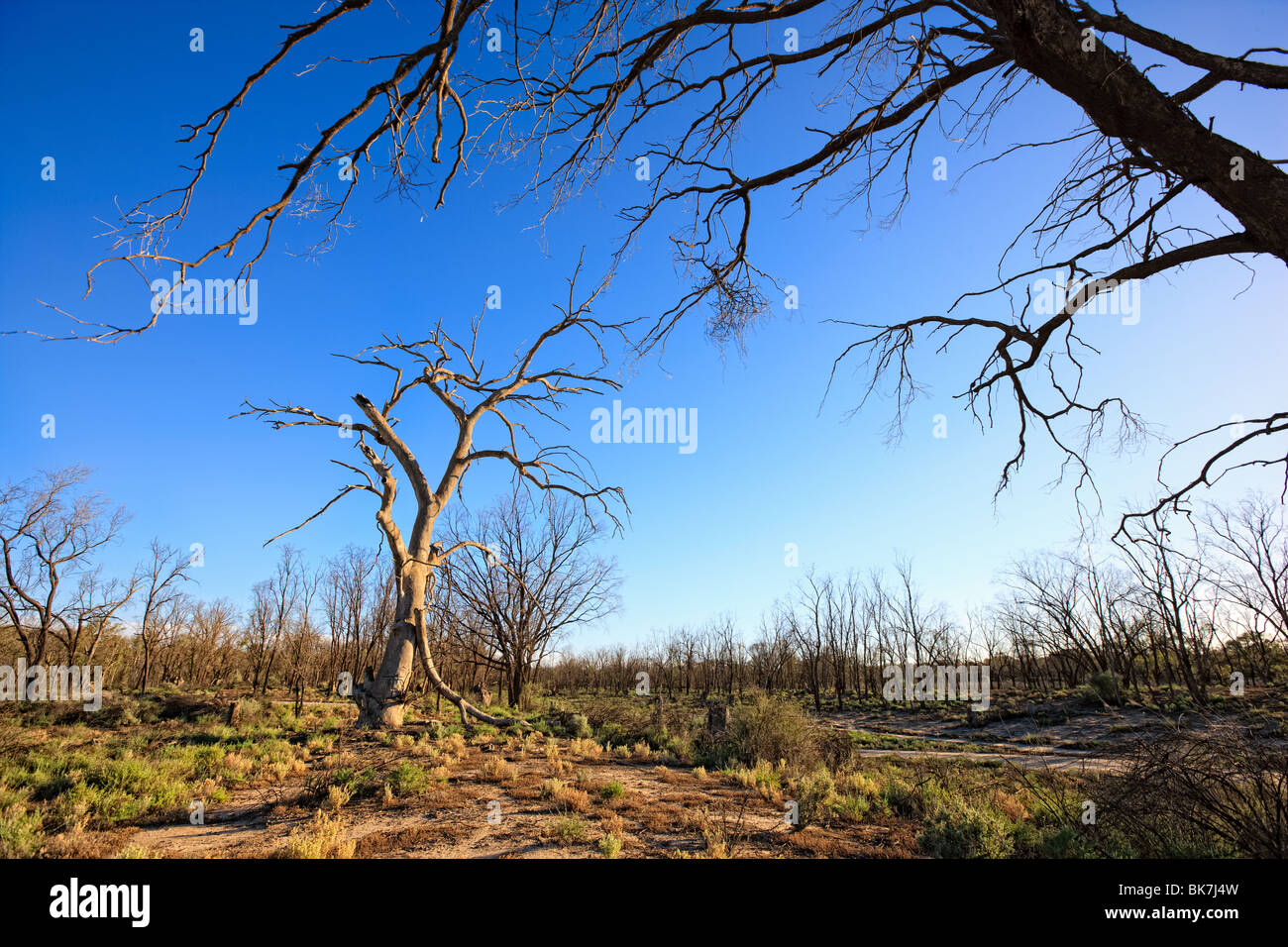Dead tree, Murray ?Darling Basin, South Eastern Australia. - Stock Image