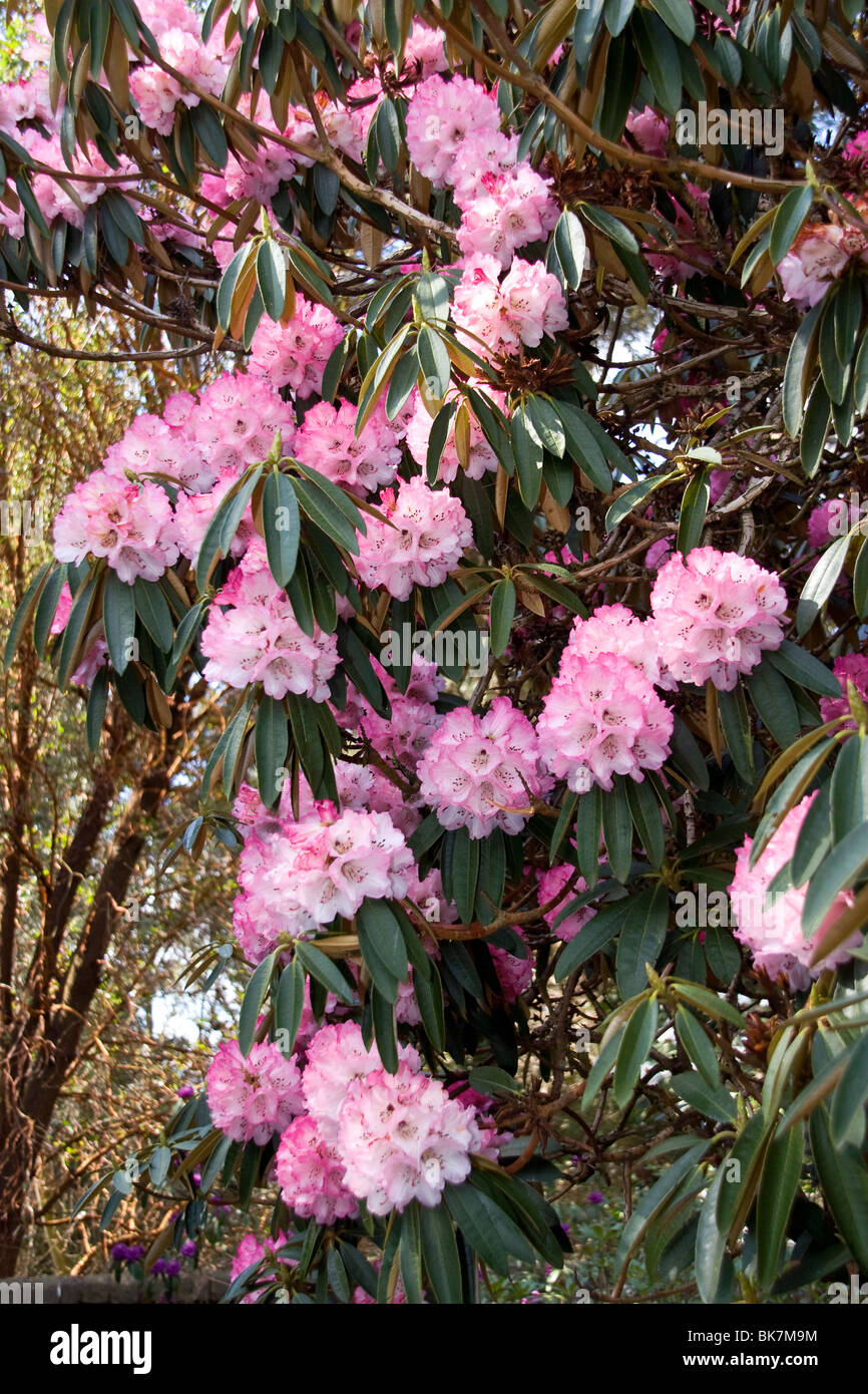 Cluster of Pink Rhododendron arboreum evergreen shrub in full bloom at the Dundee Botanic Gardens - Stock Image