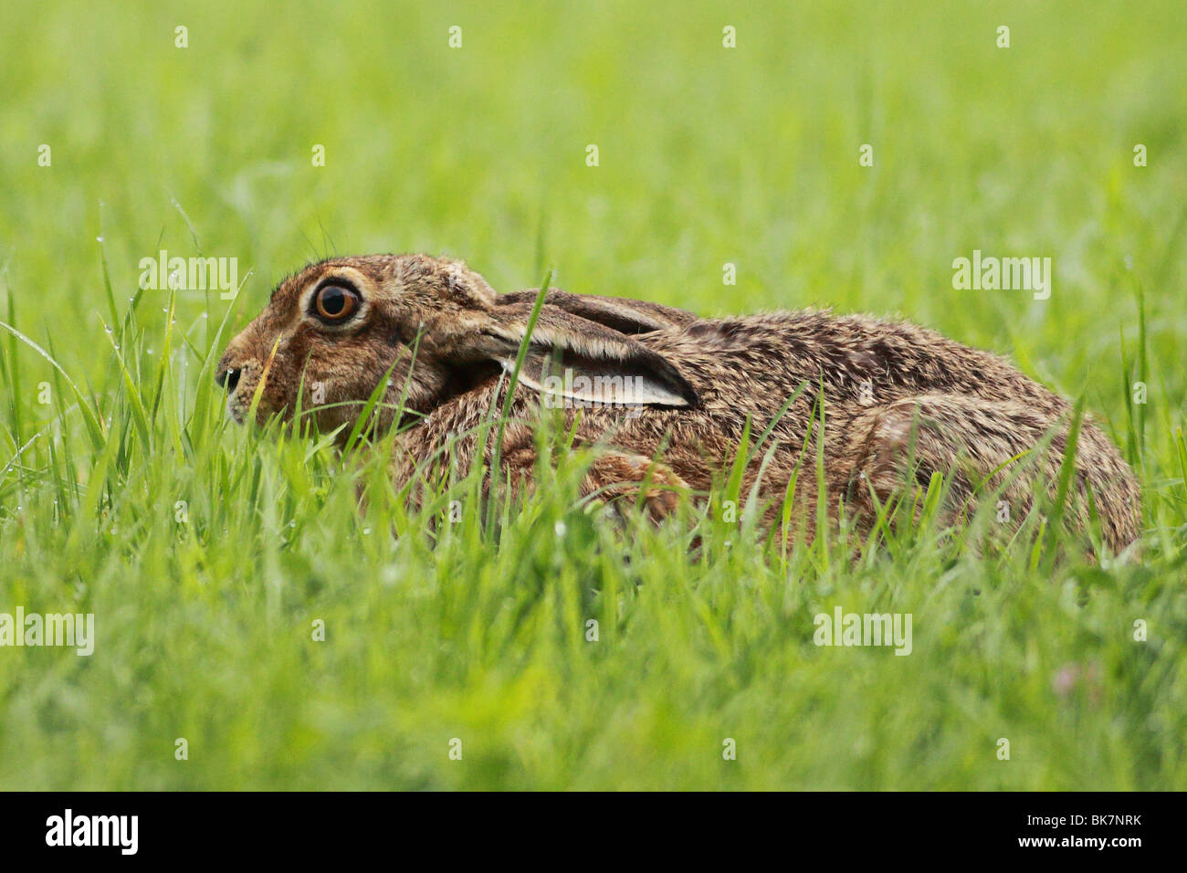 european brown hare - Stock Image