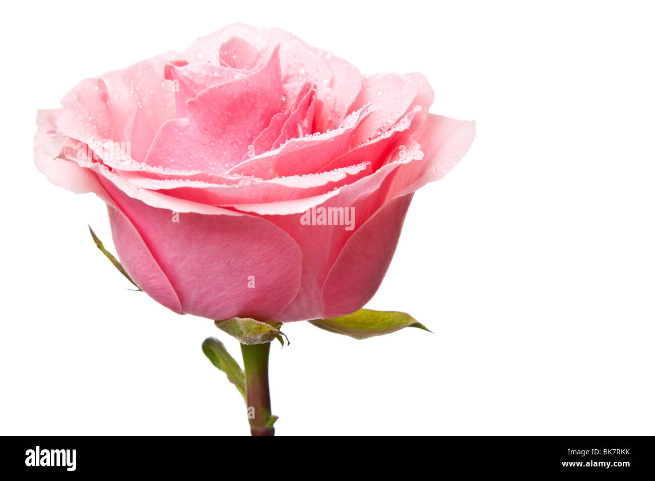 pink rose isolated on a white background - Stock Image