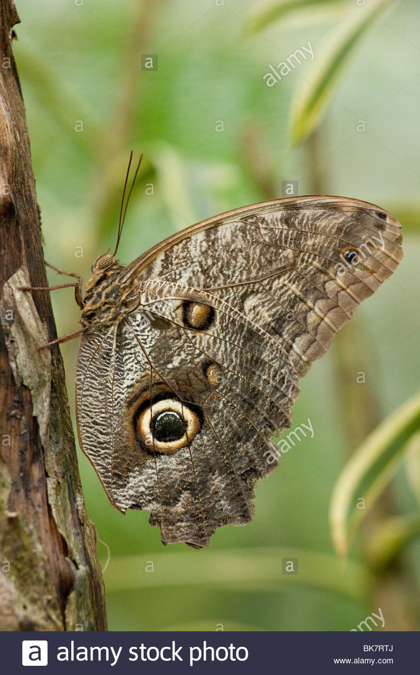 Owl Eye Butterfly, Arenal, Costa Rica - Stock Image