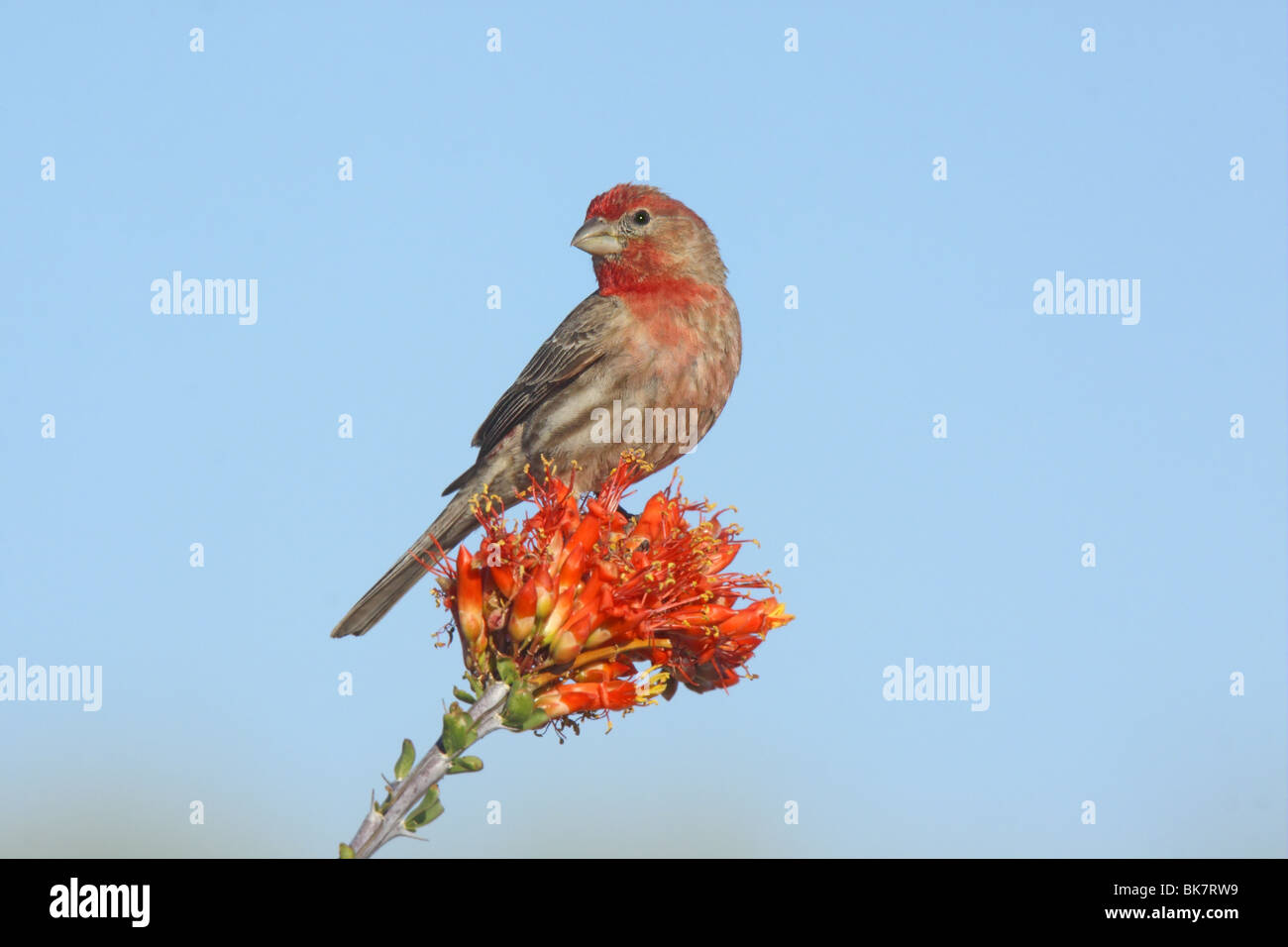 House Finch Male on Ocotillo flowers. Fringillidae - Stock Image