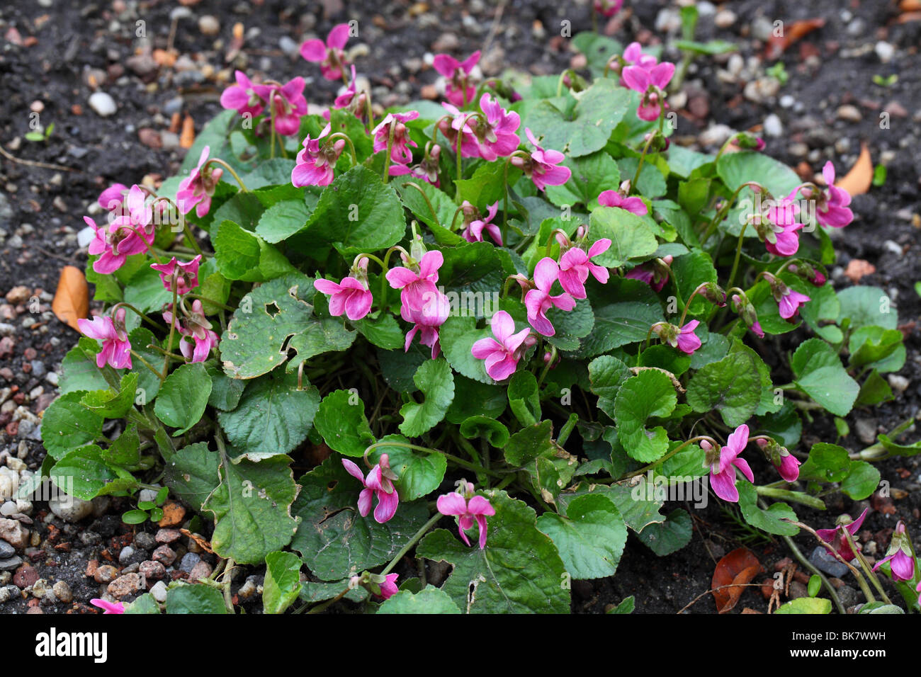 Common dog violets blooming Viola reichenbahiana - Stock Image