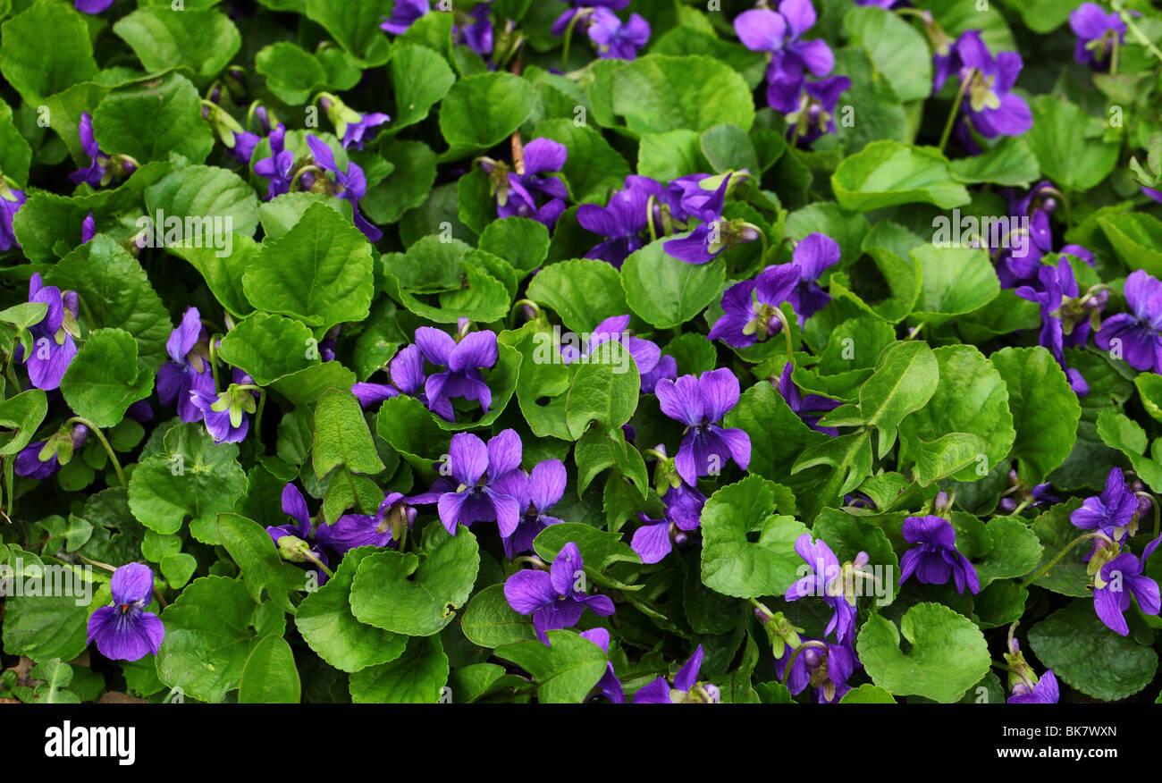 Violet flowers Viola odorata close up - Stock Image