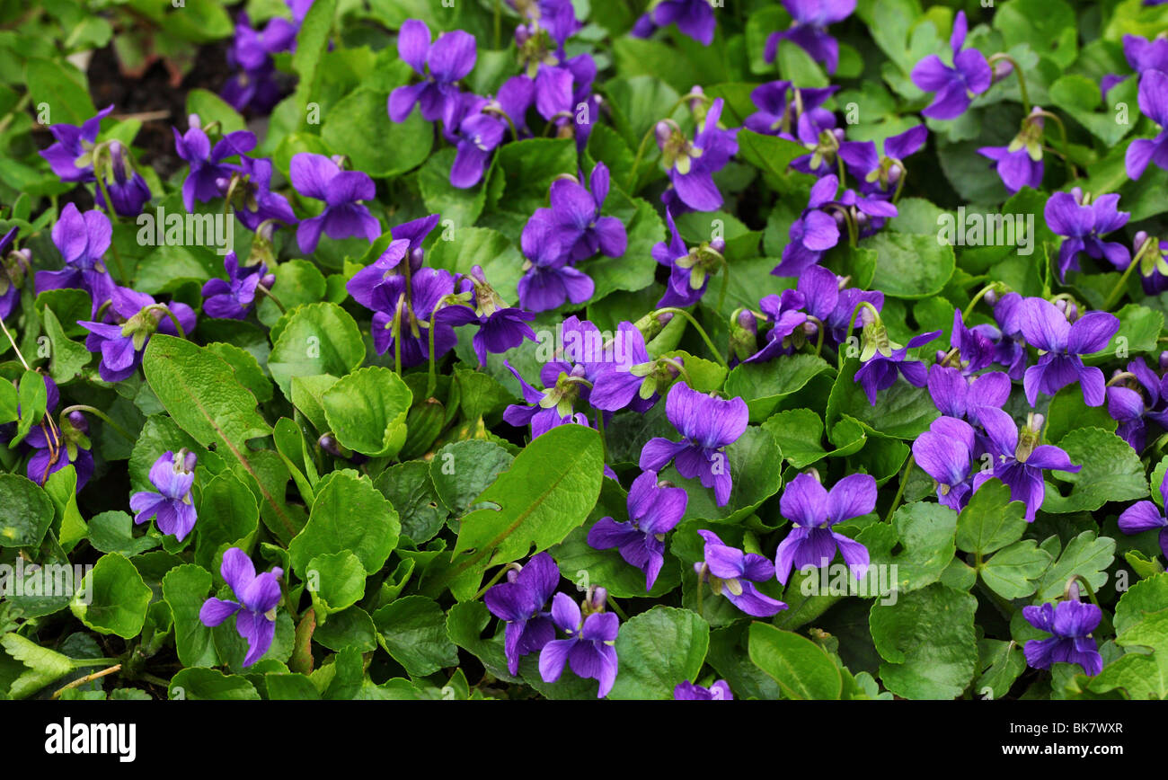 Common dog violets blooming Viola odorata - Stock Image