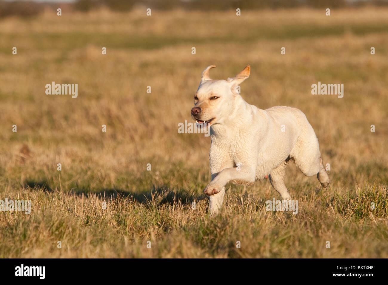 Domestic dog, Labrador Retriever - Stock Image