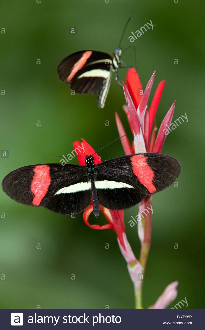 Heliconius erato petiverana Butterfly, Arenal, Costa Rica - Stock Image