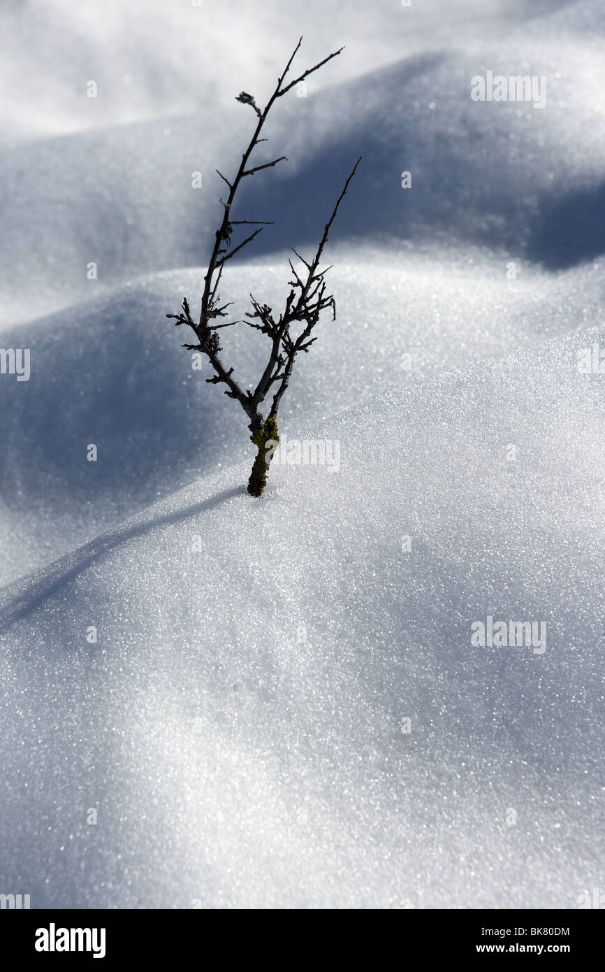 dried branch like lonely tree metaphor snow winter desert - Stock Image