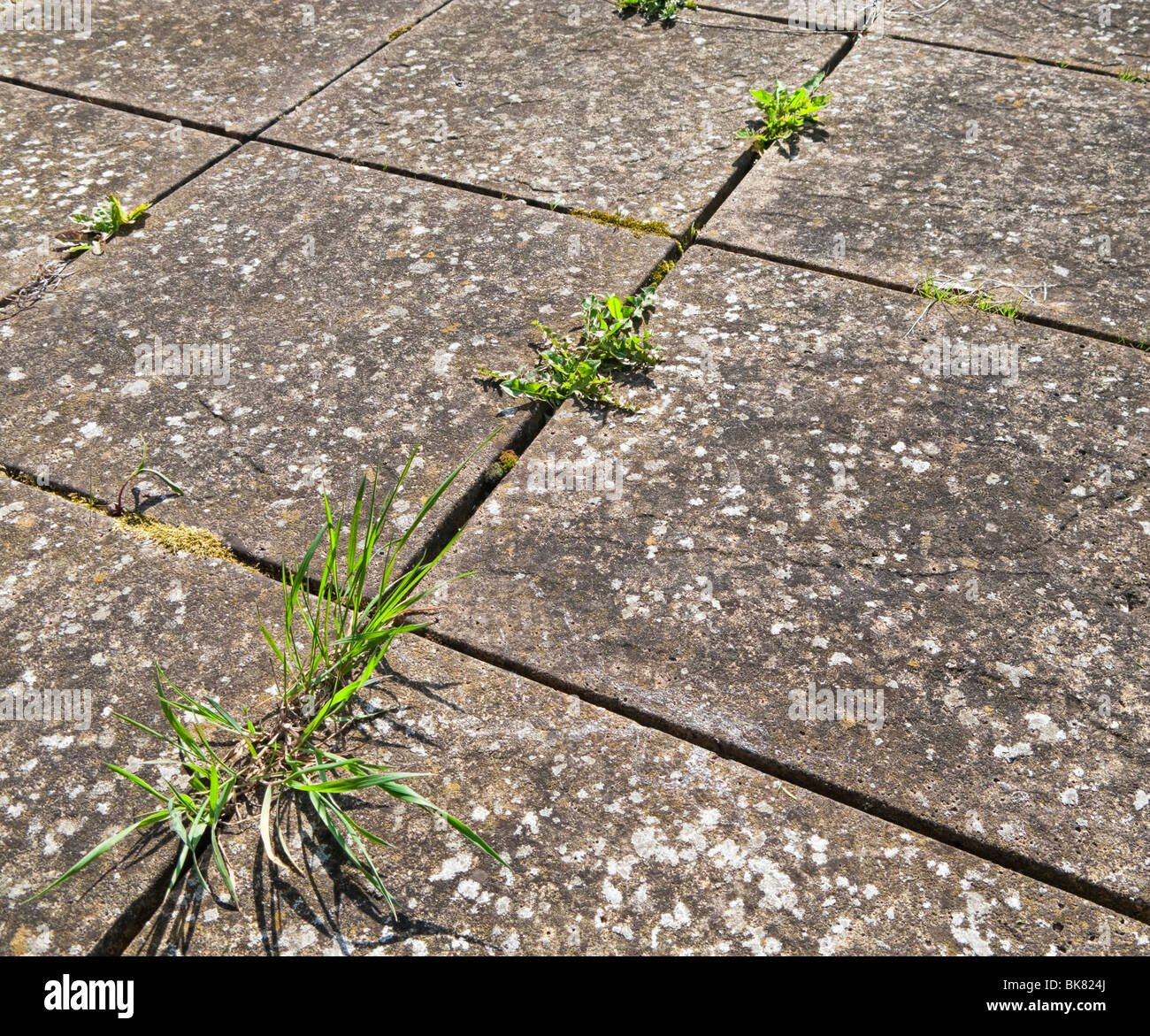 Common weeds growing in between paving slabs on a patio - Stock Image