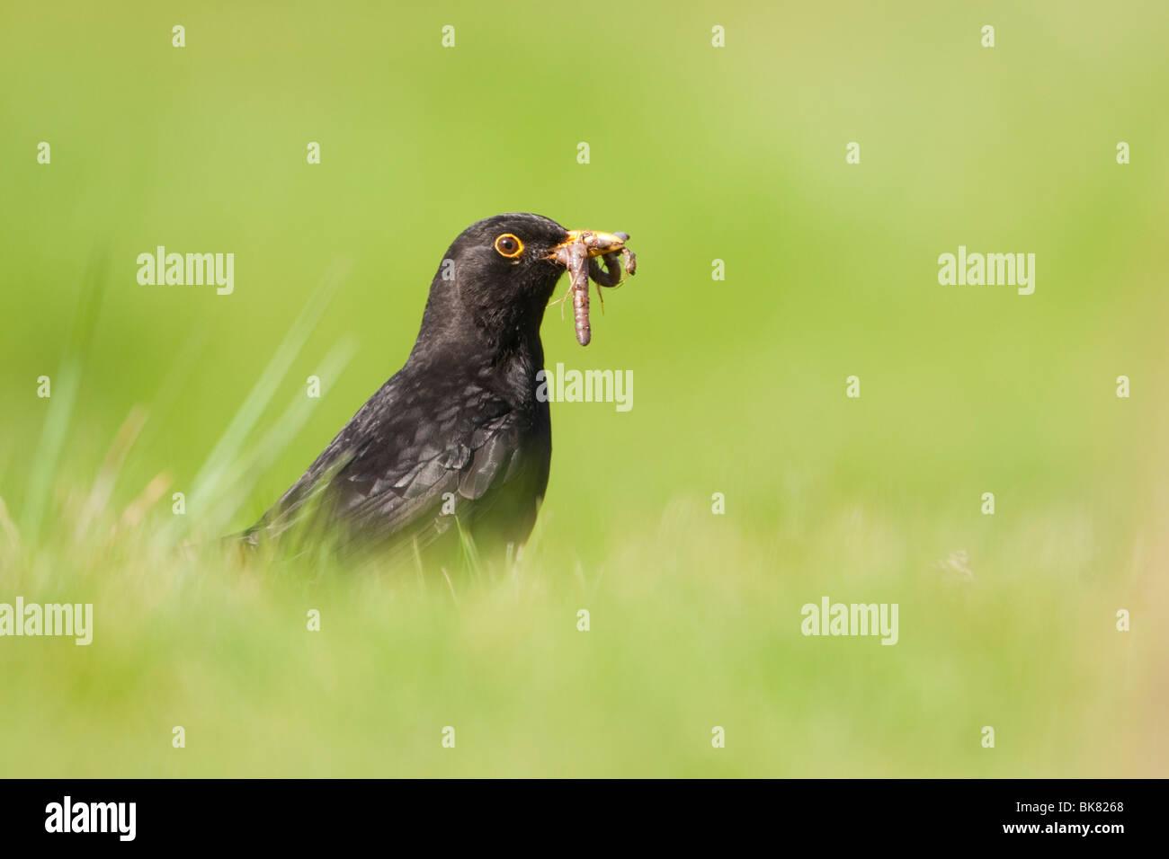 European Blackbird (Turdus merula) adult male, with beakful of worms, UK - Stock Image
