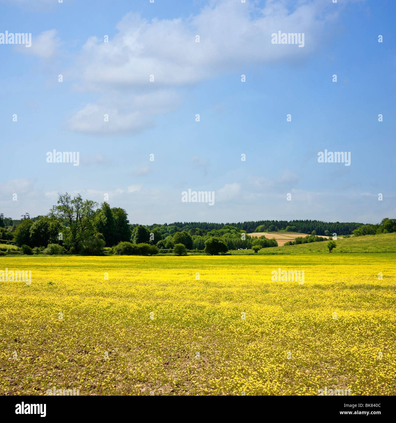 Landscape and field of Buttercups near Albury, Surrey, England, UK - Stock Image