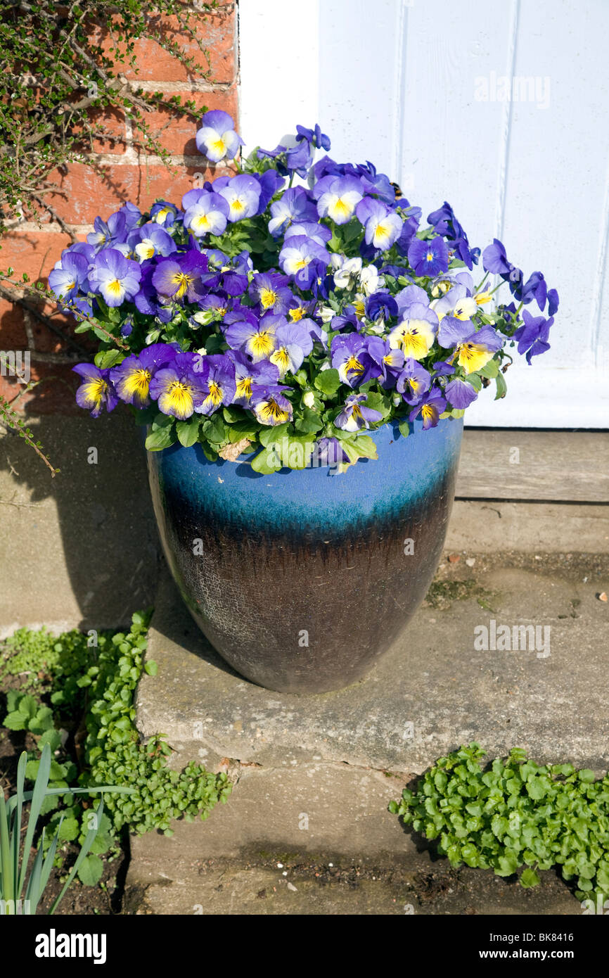 Pansies in pot on house doorstep - Stock Image