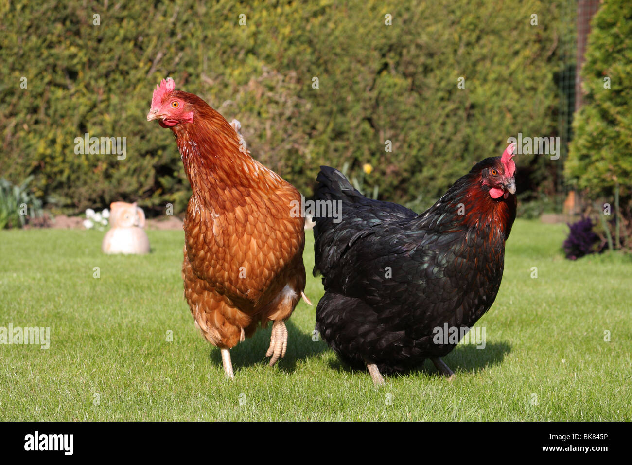 Free-range hens in a garden in the U.K. - Stock Image