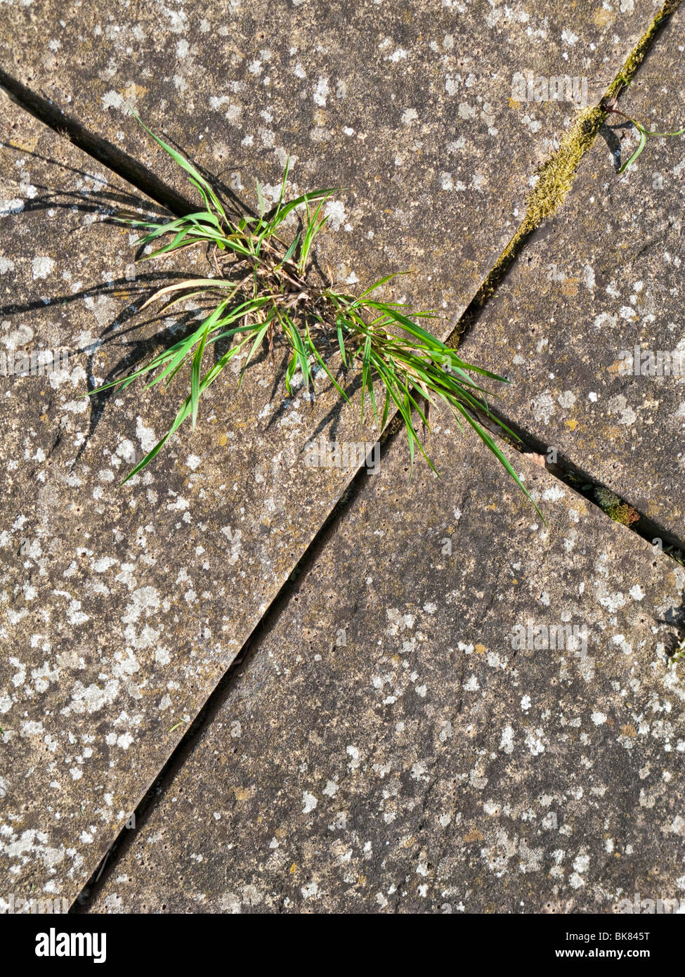 Common weeds growing in the cracks between paving slabs - Stock Image