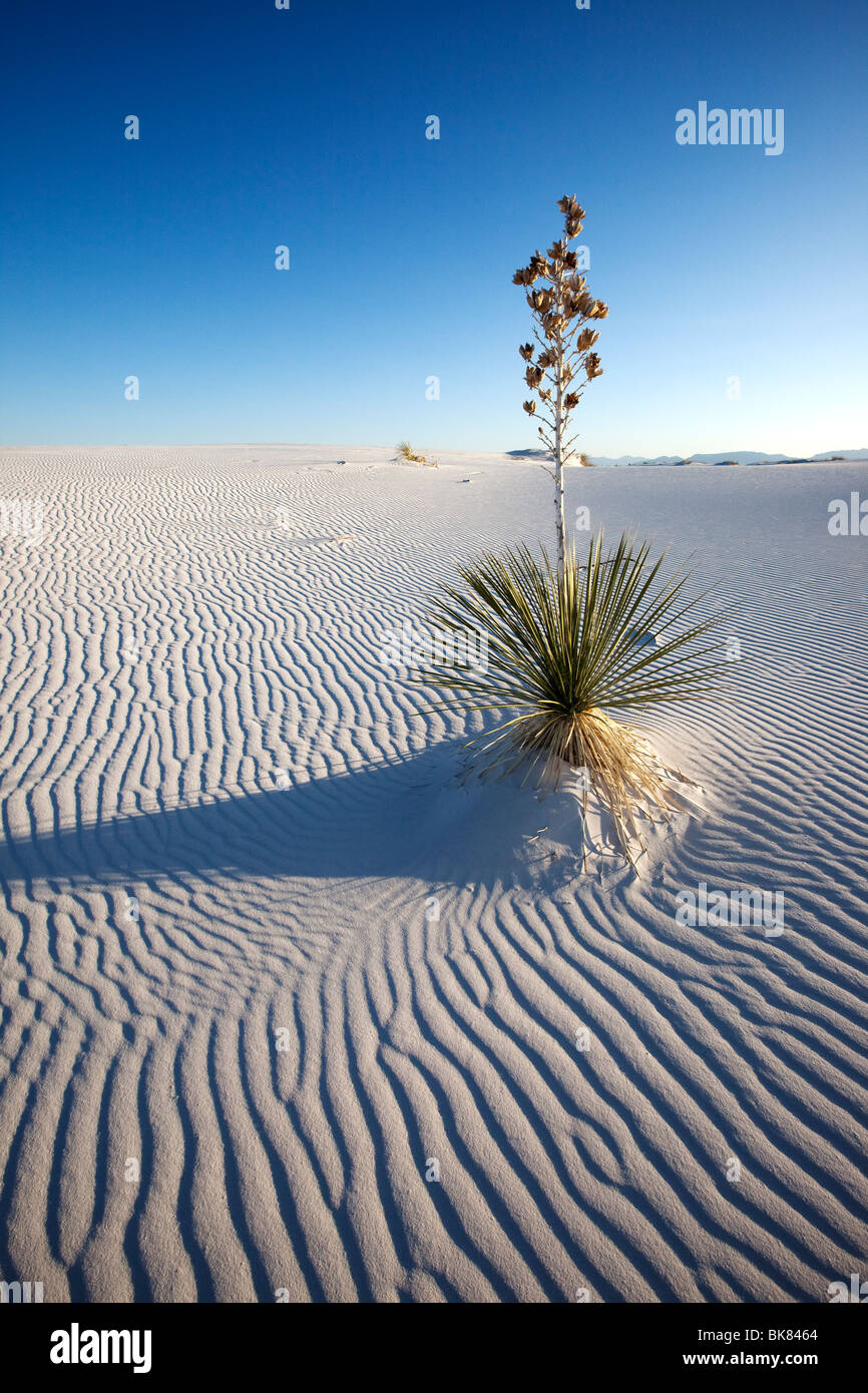 Yucca in Sand, White Sands National Monument, New Mexico - Stock Image