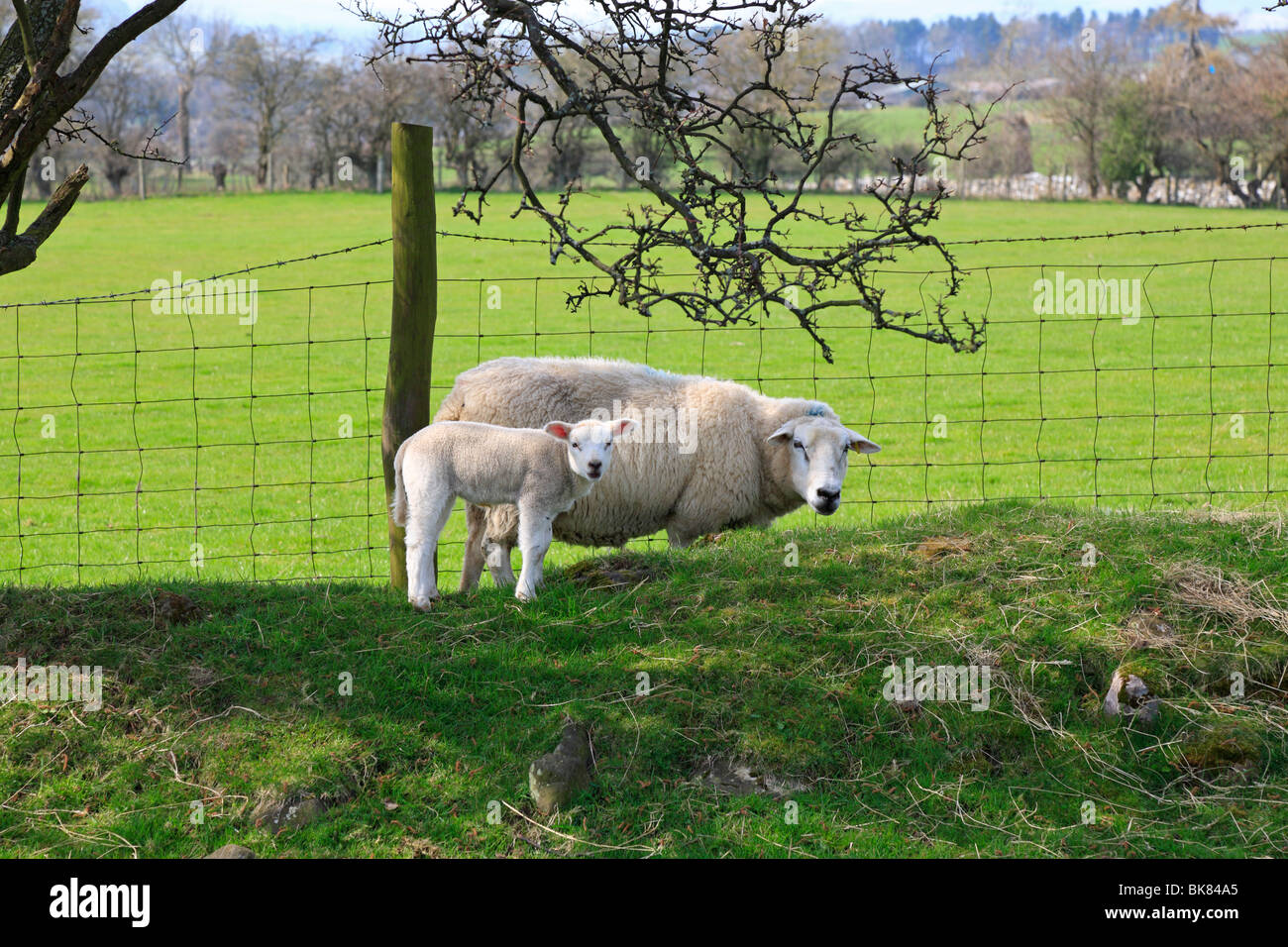Ewe with a young lamb in a field near Leyburn, North Yorkshire, England, UK. - Stock Image