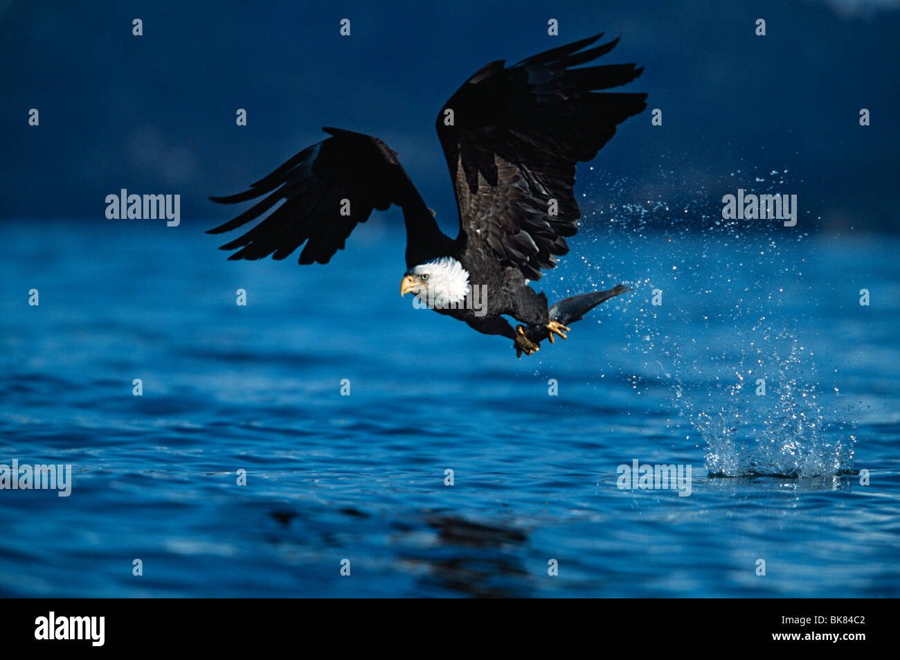 Bald Eagle In Flight With Just Captured Fish In Talons - Stock Image
