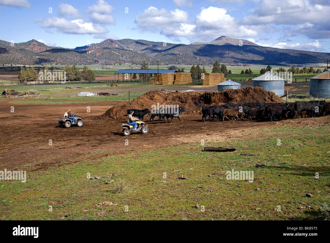 A modern cowboy on an ATV All Terrain Vehicle rounds up a herd of cattle for branding on a large cattle ranch in Stock Photo