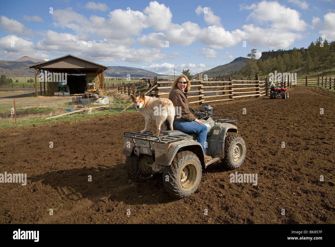 Modern day cowboys ride All Terrain Vehicles to round up cattle on a large cattle ranch in central Oregon - Stock Image