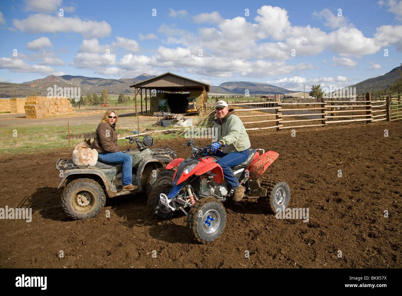 Modern cowboys on an ATV All Terrain Vehicle rounds up a herd of cattle for branding on a large cattle ranch in - Stock Image