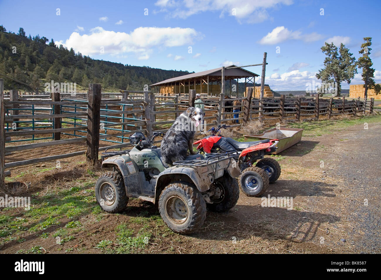 An Australian shepherd herding dog on an ATV All Terrain Vehicle - Stock Image