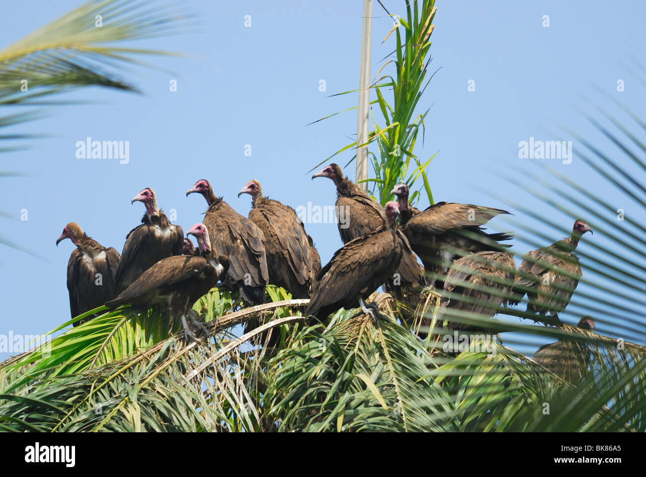 A group of Hooded Vultures (Necrosyrtes monachus ) gathered in a palm tree in The Gambia, Western Africa - Stock Image