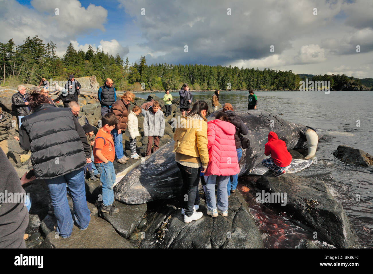 Onlookers viewing dead young gray whale on beach-East Sooke Park, Metchosin, British Columbia, Canada. - Stock Image