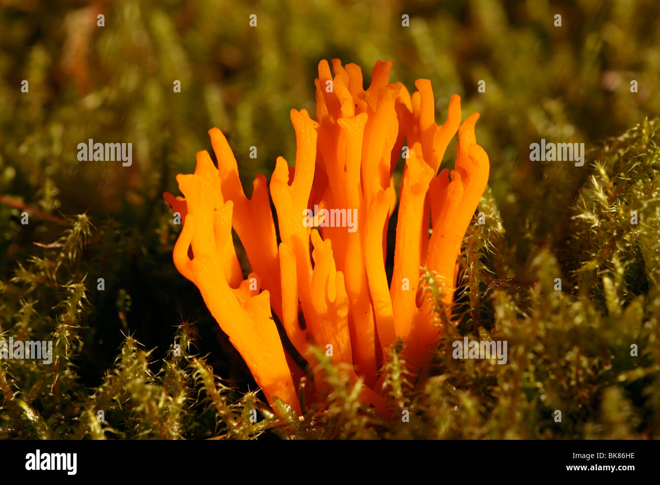 Yellow tuning fork or Yellow stagshorn fungus (Calocera viscosa) - Stock Image