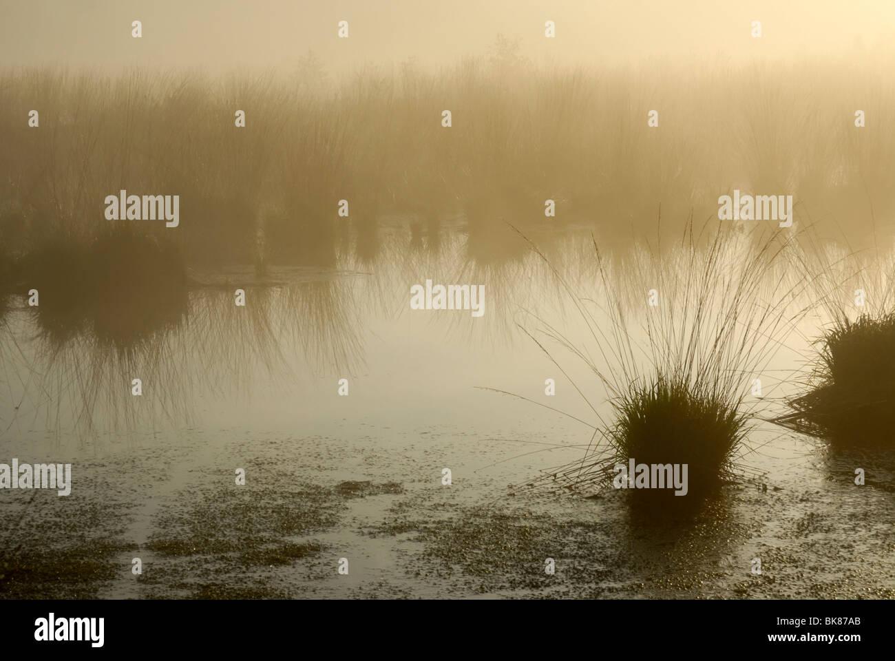 Misty morning atmosphere on the moors, Purple Moor Grass (Molinia caerulea) in an moor pond, Breitenburger Moor, - Stock Image
