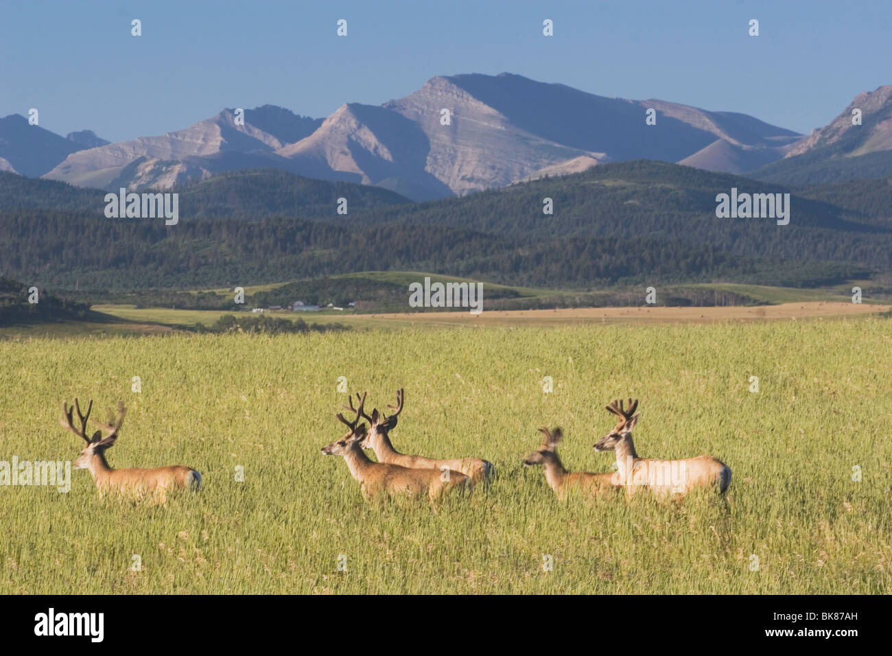 Pincher Creek, Alberta, Canada; Deer Walking Through A Field With Mountains In The Background - Stock Image