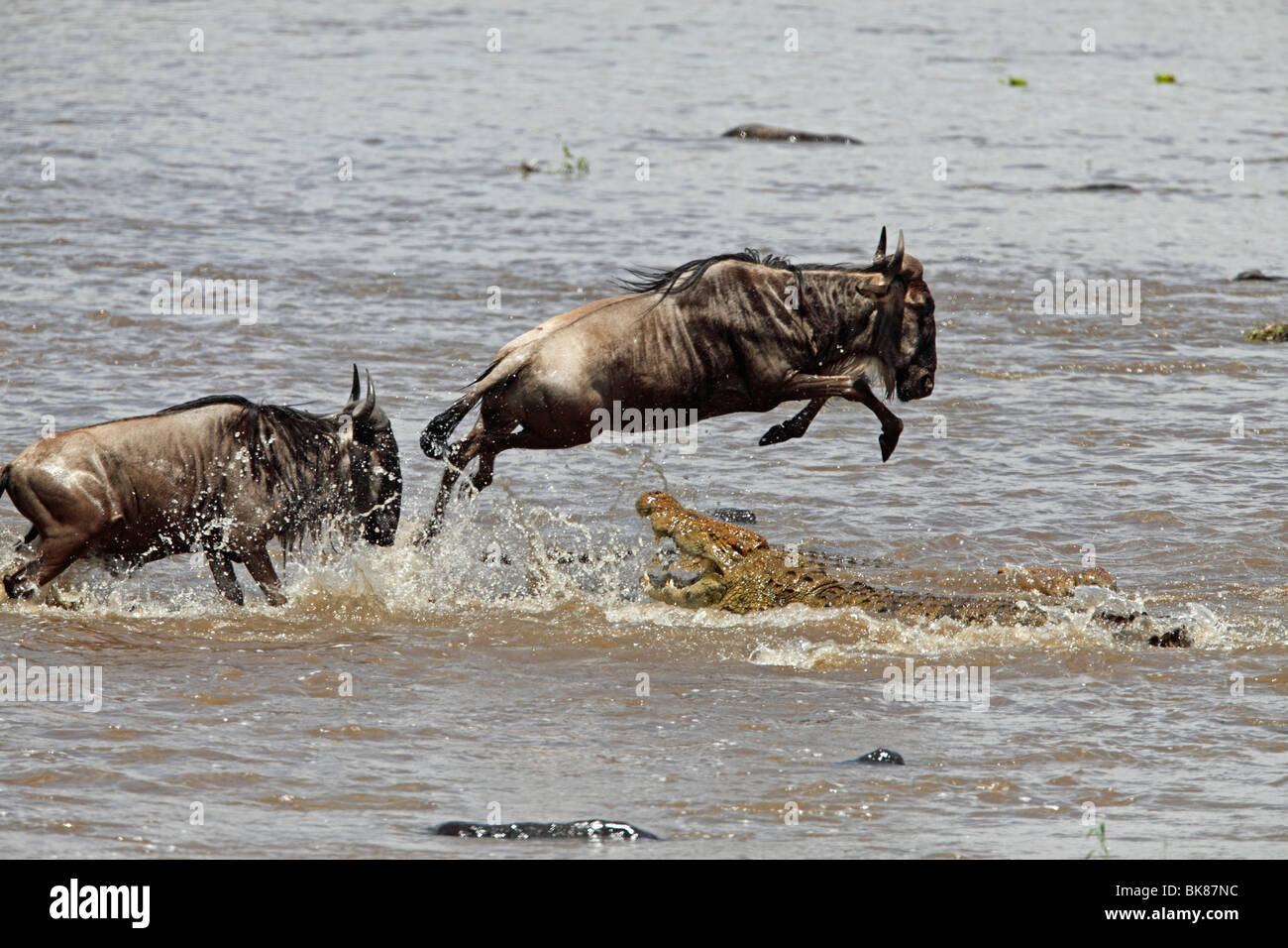 Blue Wildebeest (Connochaetes taurinus) being hunted by a Crocodile (Crocodilia) - Stock Image